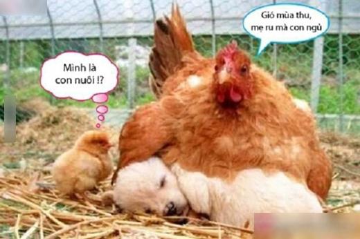 Giờ em mới biết là gà còn ngu hơn heo nữa.(Ảnh: Internet)
