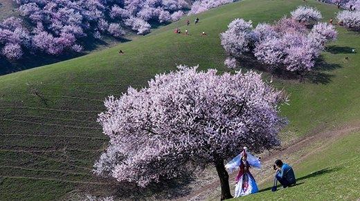 Thung lũng hoa mai hương sắc đẹp đến cạn lời ở Tân Cương