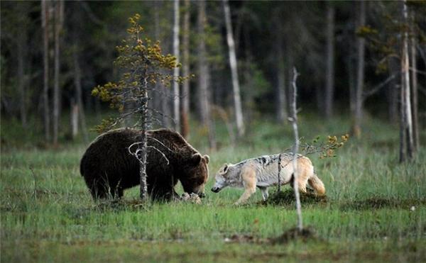 Một nhiếp ảnh gia người Phần Lan đã bắt được những khoảnh khắc cực quý giá về tình bạn giữa cô sói xám và chàng gấu nâu giữa thiên nhiên.Được biết, đôi bạn này thường chơi đùa và san sẻ miếng mồi cùng nhau giữa cảnh thiên nhiên rất đỗi lãng mạn với cánh đồng hoang vàng úa ngả màu dưới ánh hoàng hôn. (Ảnh: Internet)