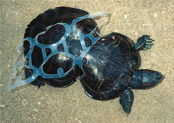 Chú rùa bị mắc vào dải nhựa từ khi còn nhỏ đã phải chịu cảnh phát triển không bình thường.