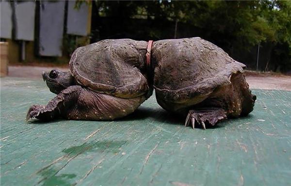 """Chiếc vòng nhựa quái ác đã khiến một chú rùa khác phải trở thành """"kẻ đột biến""""."""