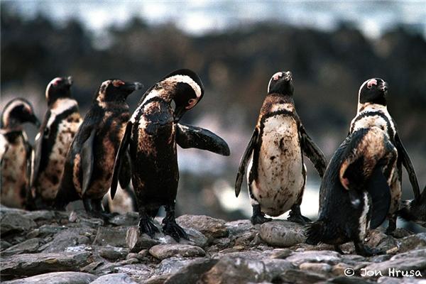 Những chú chim cánh cụt người loang lổ dầu chỉ còn biết chờ chết.