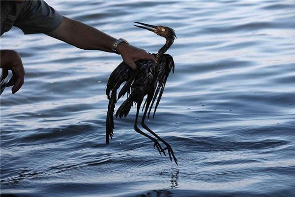 Chú chim này vì bị dính dầu, không bay được nên phải chịu cảnh chết đuối.