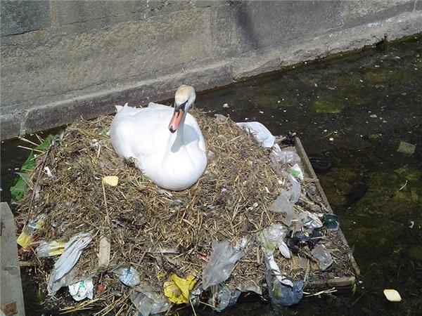Chú thiên nga bị câm này chẳng còn cách nào khác ngoài đem rác về làm tổ cho mình.
