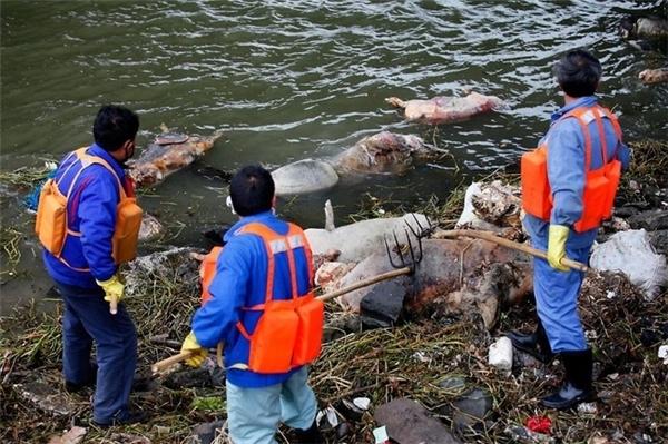 Hơn 3000 con lợn chết trôi trên sông Hoàng Phố.