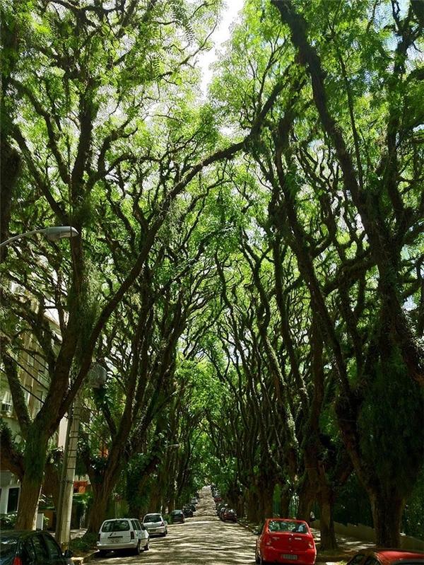 Hai hàng cây sừng sững chạy dọc con đường 500 mét được xem như một nét đặc trưng của thành phố Porto Alegre. Nhiều du khách đã bình chọn đây là con đường cây đẹp nhất trên thế giới vìđộ hùng vĩ của nó.