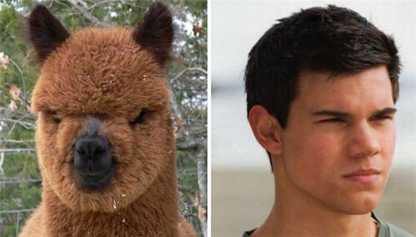Không ngờ trên đời lại có... vật giống người đến mức này, đặc biệt là một ngoại hình đặc biệt như Taylor Lautner.