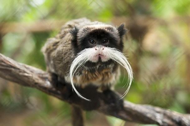 Khỉ hoàng đế Tamarin là một trong những động vật có bộ râu đẹp nhất hành tinh. Tuy cơ thể nhỏ nhắn nhưng bộ râu dài màu trắng, vót nhọn đuôi được chăm sóc cẩn thận của khỉ hoàng đế Tamarin khiến chúng nổi bật và vương giả. (Nguồn L25)