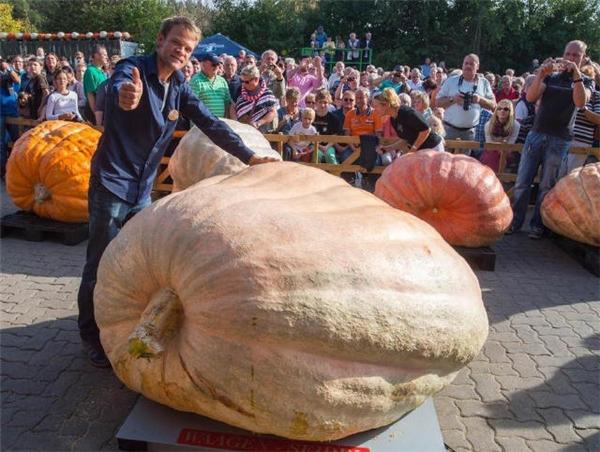 Quả bí đỏ có trọng lượng 953,5 kg