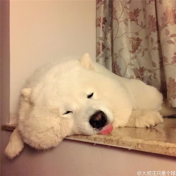 Khi nó ngủ, nếu không nhờ tiếng ngáy chắc không ai biết đây là một loài động vật đang còn sống…