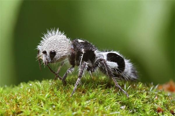 Trông nó khá giống một con gấu trúc nhưng lại mang tên của kiến trong khi bản thân lại là... ong vò vẽ.