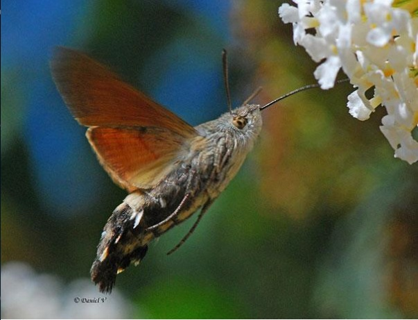 Chúng bay rất khỏe và rất phổ biến vào mùa hè ở Bắc bán cầu.