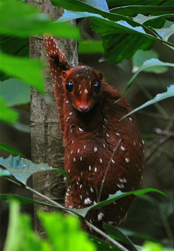 Chúng sống ở miền đông nam châu Á như Indonesia, Thái Lan, Malaysia và Singapore.