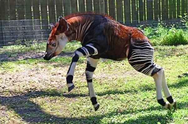 Người ta lịch sự, lúc nào cũng mang vớ hình ngựa vằn đấy nhé.