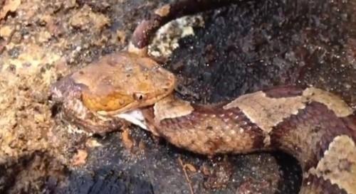 Có người lại thắc mắc rằng vì sao con rắn không cắn chính người đã giết nó mà lại đi tấn công chính thân xác mình? Có người còn cho rằng nó như những cái xác sống. (Ảnh: Internet)