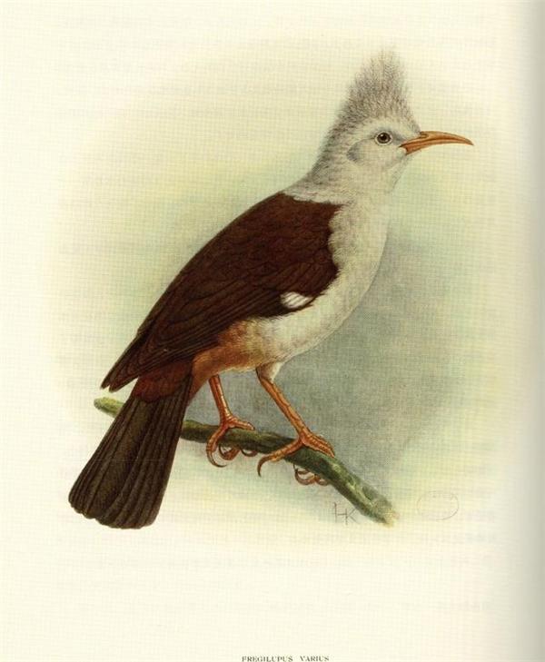 Đây là loài sáo đã tuyệt chủng từ thập niên 1850, trước đây loài sáo này có một số lượng rất lớn nhưng chúng dần biến mất trong tự nhiên, ngày nay chỉ có một vài bảo tàng là còn lưu giữ tiêu bản của chúng.