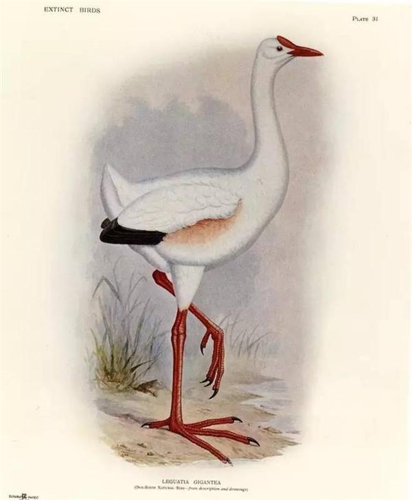 Đây là một loài chim độc đáo chỉ có ở Mauritius. chim rất cao, cổ dài, kích thước chim tương đương với một con ngỗng. Toàn thân chim được bao phủ bởi một màu trắng, dưới cánh có một ít màu đỏ, mỏ chim cũng tương tự như mỏ của ngỗng nhưng nhọn hơn.
