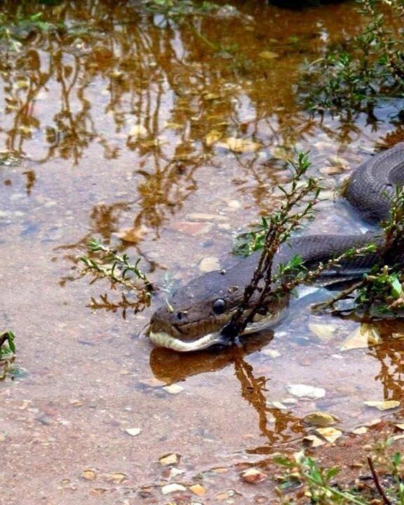 Những nhân chứng không hết kinh hãi khi con cá sấu dần mất hút vào miệng con trăn. (Ảnh: Internet)