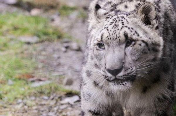Báo tuyết đãkhông còn được nhìn thấy trong tự nhiên kể từ thế kỷ trước do bị mất môi trường sống và bị săn bắn trộm.