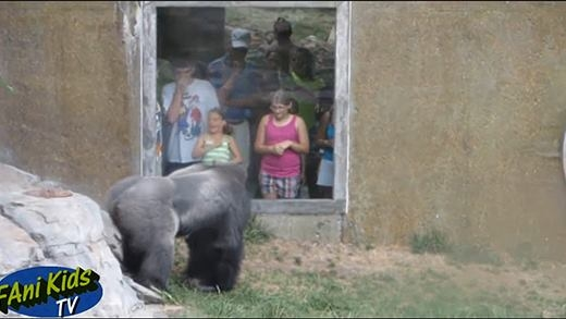 Cười đau bụng với màn ném phân vào khách tham quan của khỉ đột