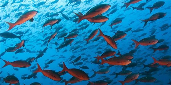 Những đàn cá đông đúc này sẽ biến mất vào năm 2050? (Ảnh: Internet)