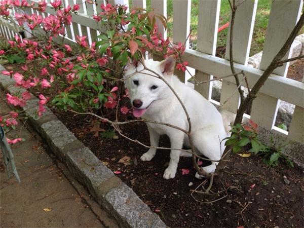 Đừng bao giờ đánh shiba bằng một cành hoa, mà hãy dùng cành hoa ấy để nhốt nó lại, nó không biết làm sao để thoát ra đâu.