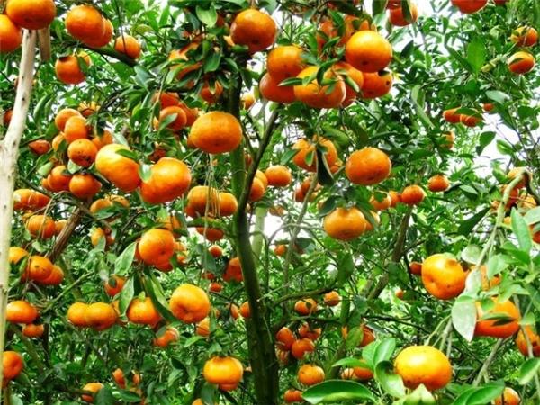 Trái cây miệt vườn Vĩnh Long luôn ngon mắt như thế.(Ảnh: Internet)