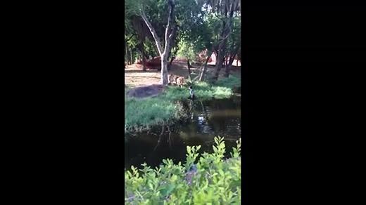 Kinh hoàng người đàn ông say rượu bơi vào chuồng sư tử đòi bắt tay