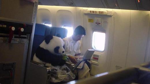 Cận cảnh thân thế chú gấu trúc ngồi máy bay đang