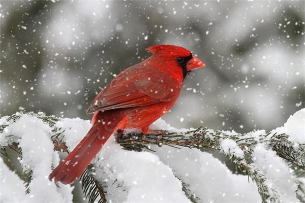 Màu đỏ nổi bật trên nền tuyết. (Ảnh: Internet)