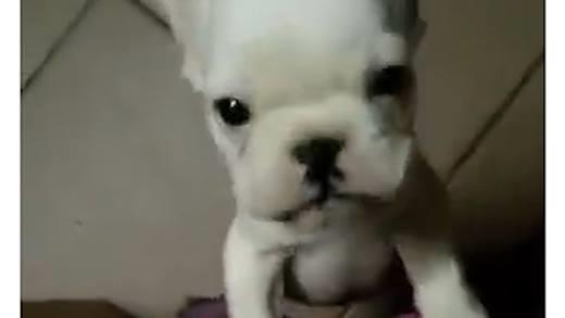 Hết hồn với những chú chó có tiếng kêu như em bé