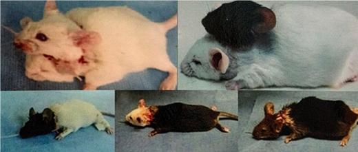 Thí nghiệm ghép đầu chuột không thành của vị bác sĩ. (Ảnh: Internet)