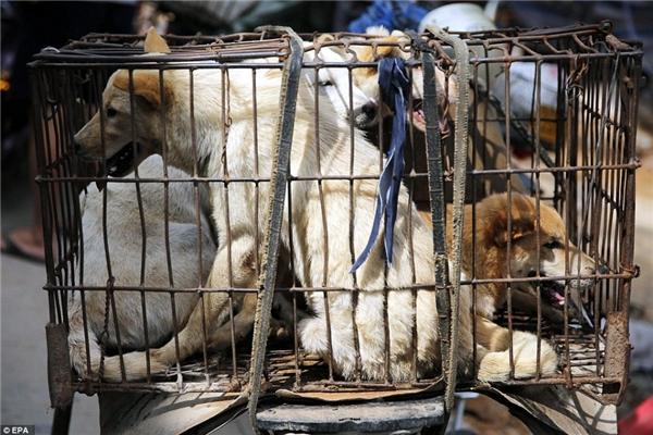 Mới đây, những hình ảnh đau lòng được chụp tại một khu chợ thuộc thành phố Ngọc Lâm, miền nam Trung Quốc, ghi lại cảnh bốn, năm con chó bị nhồi nhét vào một chiếc lồng cũ kĩ, gỉ sét chờ bị bán trước khilễ hội thịt chó thường niên Ngọc Lâmdiễn ra,khiến cộng đồng mạng xót xa, người yêu động vật phẫn nộ. (Ảnh: EPA)