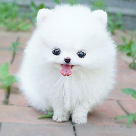 Khuyết điểm duy nhất của dòng chó này chính là... chúng khá đắt và khó chăm sóc. Một chú Teacup Pomeranian thuần chủng có giá từ... 15,6-26 triệu đồng.