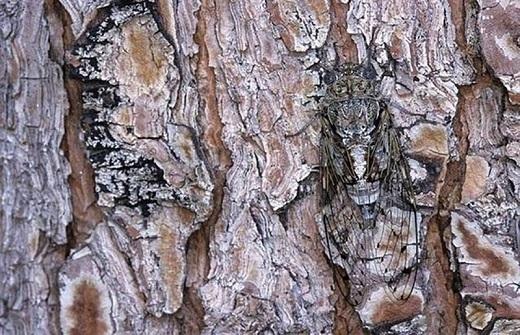 Hè đến cũng là thời điểm để những chú ve sầu tung hoành.Tuy nhiên, để nhìn thấy đượcchúng không hề dễ dàng tí nào. Những chú ve đậu rải ráctrên thân cây và đổi màu,một trong những cách hiệu quảgiúp chúng đề phòngnanh vuốt của những loài động vật nguy hiểm.
