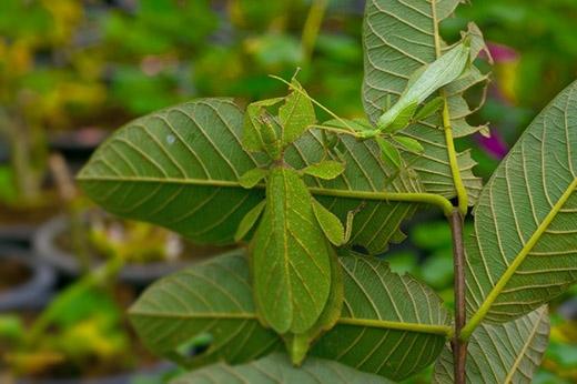 Bọ lá sở hữu vẻ ngoài không khác gì một chiếc lá, từ màu sắc đến những đường gân, ngay cả những vết hư tổn, úa màu, bọ lá cũng có thể mô phỏngsống động,không mộtchút khác biệt.