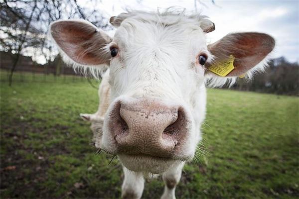 Bò là một loài rất dễ nuôi vì chúng ta không phải tốn công kiếmthức ăn cho chúng.