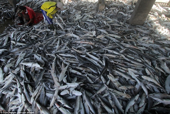 Mới đây, những hình ảnh kinh hoàng cho thấy xác của hàng ngàn con cá mập đủ mọi kích cỡ bị lóc sạch vây đổ đống tại một khu chợ ở Indramayu, tỉnh Tây Java, Indonesia, khiến cộng đồng mạng dậy sóng.