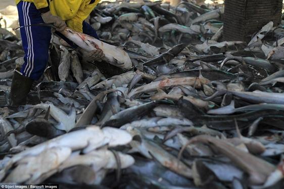 Indonesia là một trong những quốc gia có trữ lượng đánh bắt cá mập lớn nhất trên thế giới để cung cấp vây, một trong những sản phẩm từ cá đắt đỏ nhất thế giới, cho các thị trường như Singapore, Hồng Kông, Đài Loan và Trung Quốc.