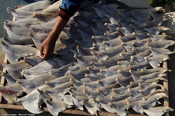 Sau khi vây bị lóc, chúng sẽ được phơi khô và đem xuất khẩu khắp châu Á.