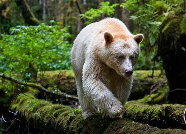 Loài gấu đặc biệt này chỉ được tìm thấy ở British Columbia, Canada và chúng chỉ còn khoảng trên dưới 500 cá thể sống trong tự nhiên. Một cá thể duy nhất sống trong môi trường nuôi nhốt ở công viên British Columbia, Canada.