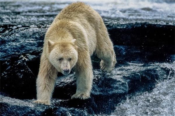 Gấu thần linh phải săn cá nhiều lần một ngày vì nhu cầu thực phẩm của chúng rất lớn, không thua kém những con gấu đen khác.