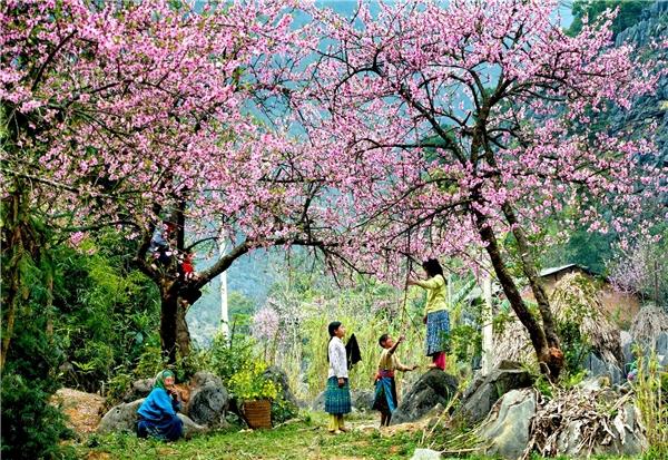 4 mùa hoa đẹp không thể cưỡng nổi ở Mộc Châu