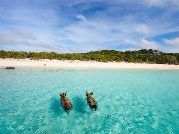 """Nếu bạn muốn có một trải nghiệm khác lạ, hãy tới ngay đảo Big Major ở Bahamas. Với biệt danh là """"bãi biển lợn"""", hòn đảo này thu hút du khách ghé thăm bỡi những chú lợn vô tư bơi lội dưới biển và chúng cũng rất thân thiện. (Ảnh Internet)"""