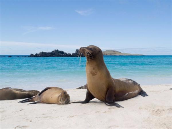 Tới bãi biển cát trắng ở vịnh Gardner trên đảo Española, thuộc quần đảo Galapagos(Ecuador), du khách có thể ngắm hàng trăm con sư tử biển nằm thư giãn trên bãi cát. Nơi đây cũng là địa điểm lặn ống thở và lặn bình khí hấp dẫn. (Ảnh Internet)