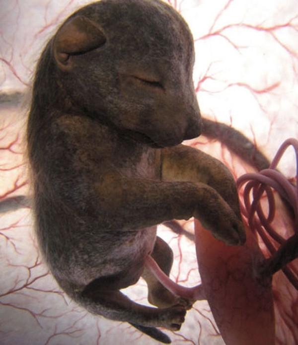Thời gian một chú chó được hình thành và phát triển hoàn thiện trong bụng mẹ là khoảng 9 tuần. Sau khi sinh, các chú chó con sẽ dần hoàn thiện về móng vuốt, răng và mũi cũng sẽ dài hơn khi trưởng thành.