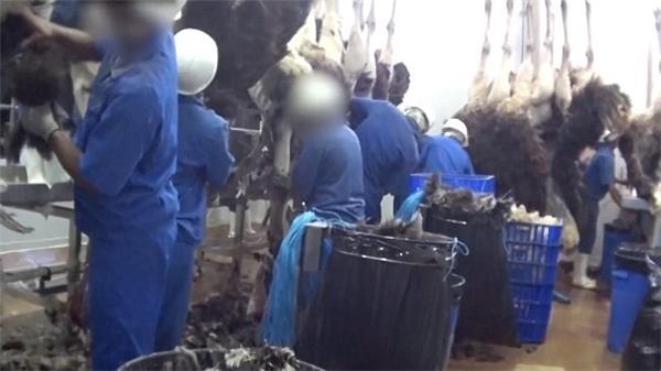 Còn đây là những hình ảnh chụp lén tại công ty giết mổ đà điểu lớn nhất thế giới, chuyên cung cấp da đà điểu làm túi xách độc quyền cho nhà mốt Hermès Birkins.