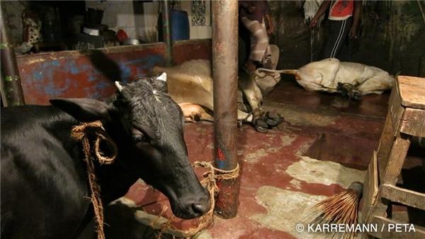 Những con bò đáng thương nằm chờ chết trong lò giết mổ.