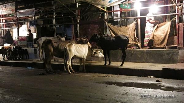 Những bò này sẽ bị lột da để làm nên những chiếc túi xách hàng hiệu, giày dép và các sản phẩm khác đem phân phối trên khắp thế giới.