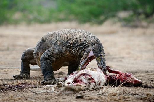 ...lại thuộc về một loài vật sát thủ chuyên săn mồi và ăn thịt sống thế này đây. (Ảnh: Internet)